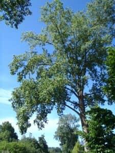 Populier, een boom apart
